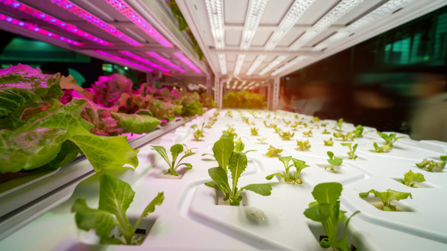 Innovation in agriculture: hydroponic agriculture close up of lettuce seedlings