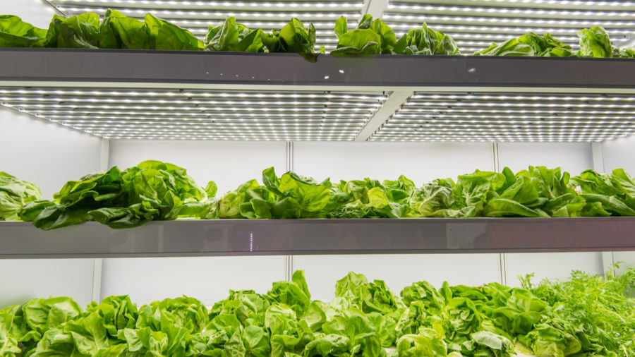 Innovation in agriculture: plants under LED light in vertical farm