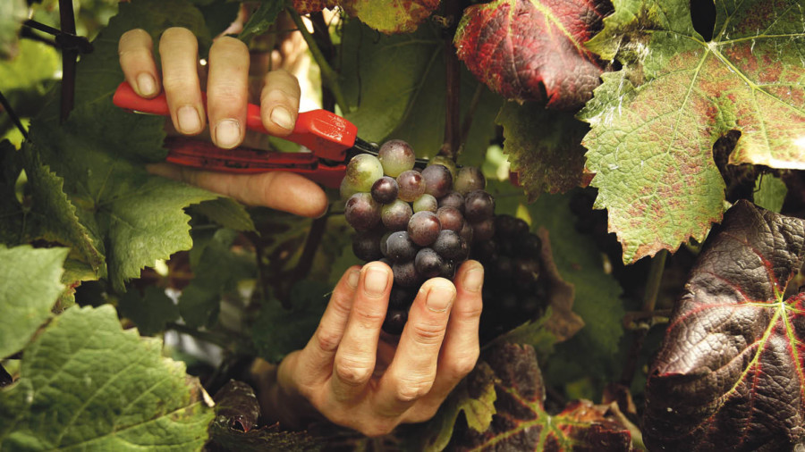Hands cutting grapes with secaturs
