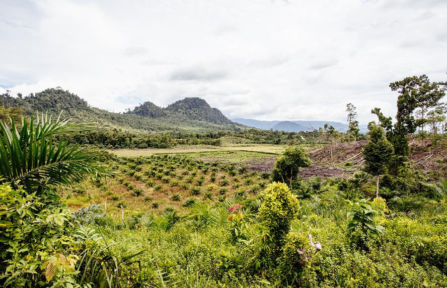 palm oil plantation in North Sumatra