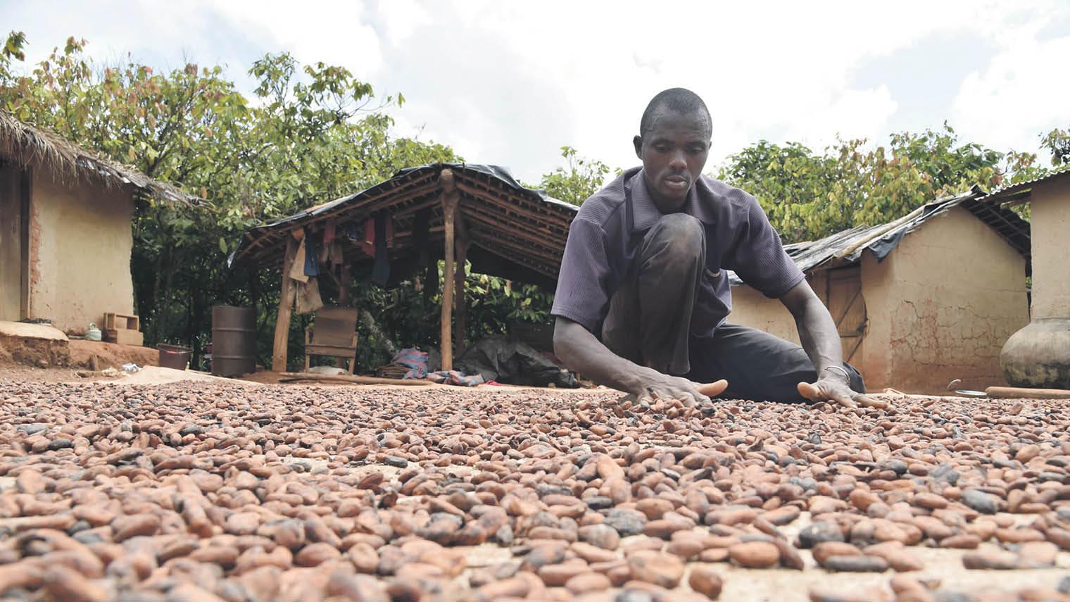 Cocoa farmer crouching working
