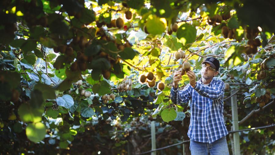 Farmer in Kiwi plantation checking fruit
