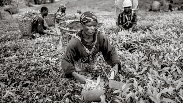Tea pickers in a field