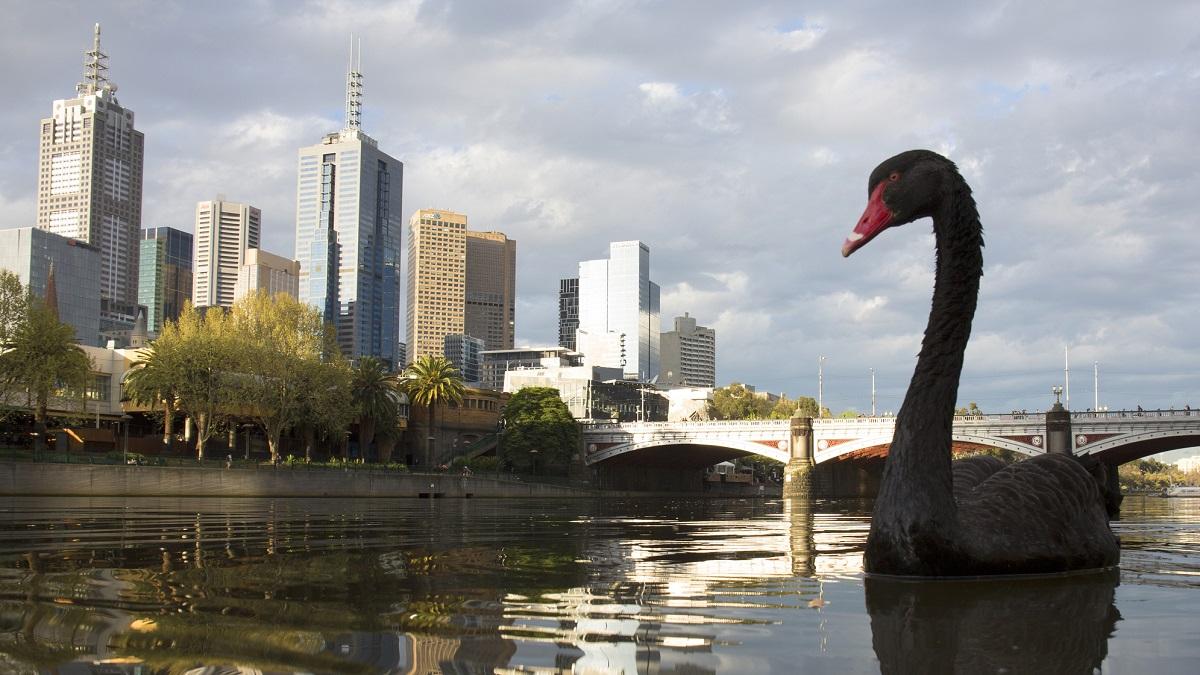 Black swan on river way twilight.